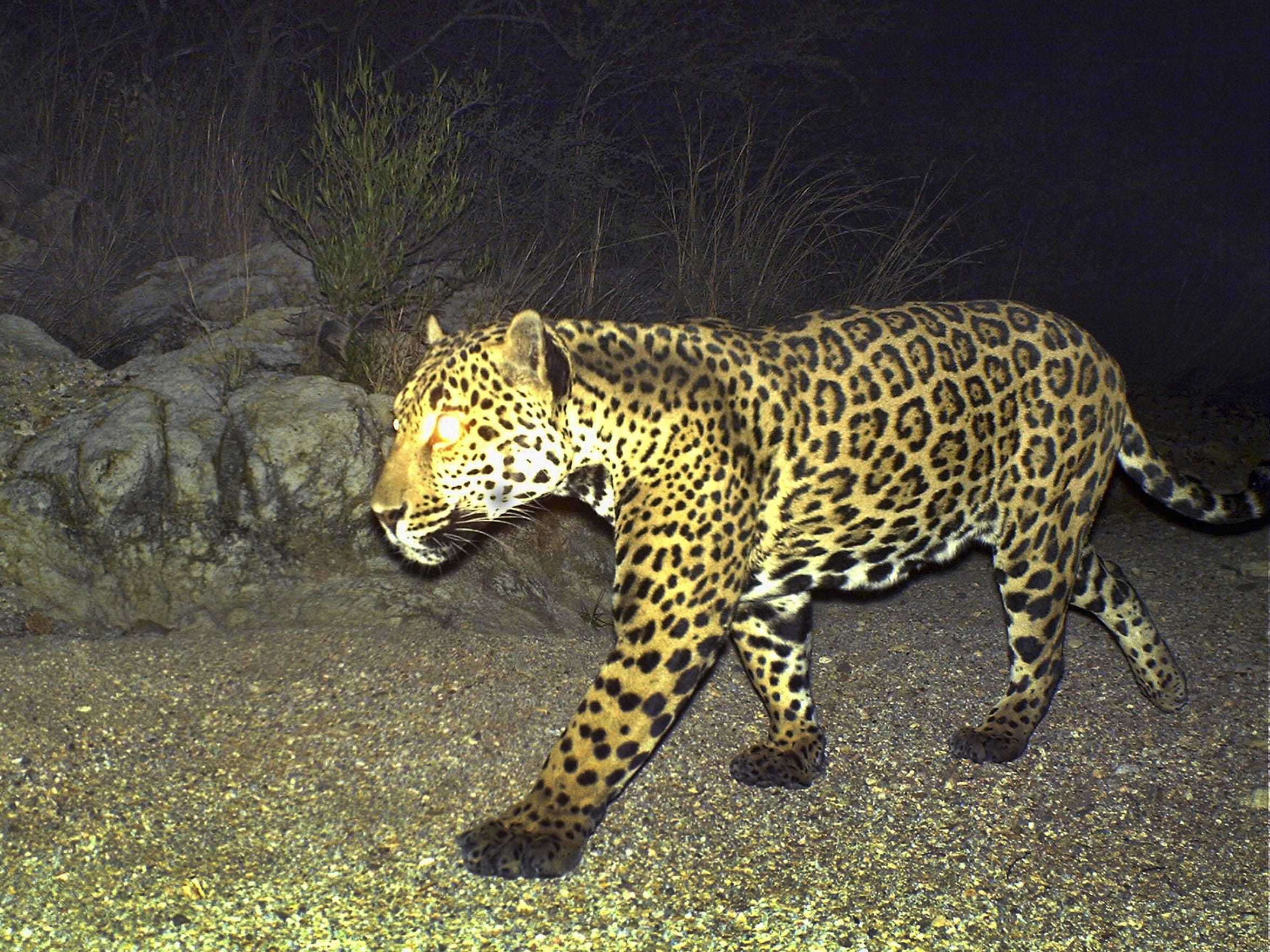 Male jaguar Mayo at the Northern Jaguar Reserve in