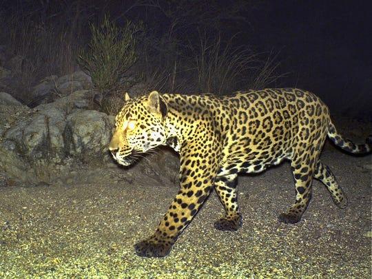 Male jaguar Mayo at the Northern Jaguar Reserve in May 2010.