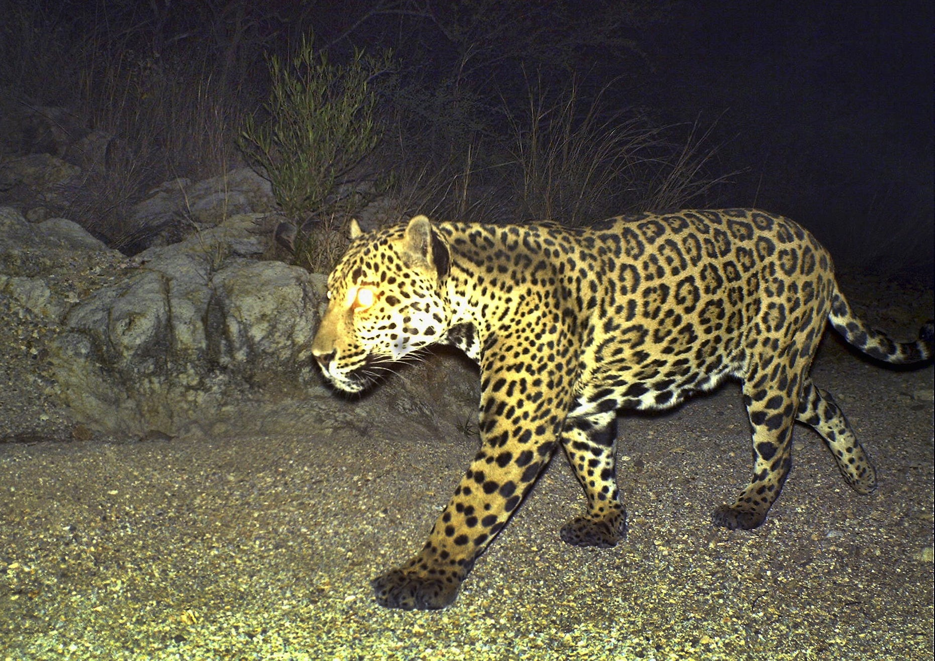 Male Jaguar Mayo At The Northern Jaguar Reserve In