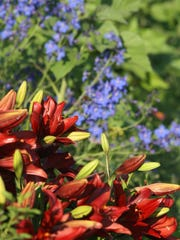 Asiatic lilies and delphiniums are a terrific combination.