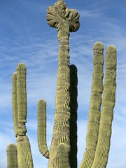 A rare crested saguaro is seen along the Granite Mountain