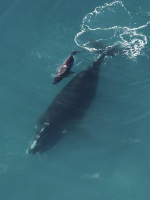 North Atlantic right whale mother and her calf were spotted Dec. 16, 2019, off Georgia, the first right whale calf seen last season.