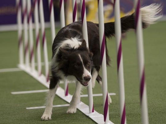 Westminster Dog Show Agility
