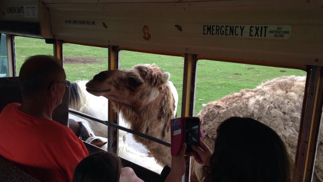 A one-hump dromedary camel was not shy about sticking its head inside the bus for food. It trotted alongside the bus as it moved.