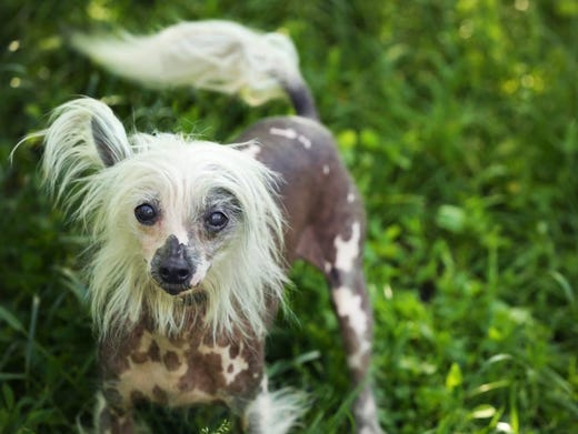 79. Chinese crested • 2016 rank: 77 • 2007 rank: 52