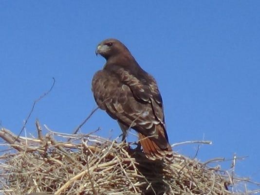 3-26-15 Hawk in Nest #2.JPG