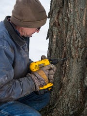 Sugar-maker Mike Isham taps a maple tree on his Williston farm on Thursday, February, 26, 2015. He taps this tree with an old-fashioned spout and bucket for the kids who visit his farm on field trips.