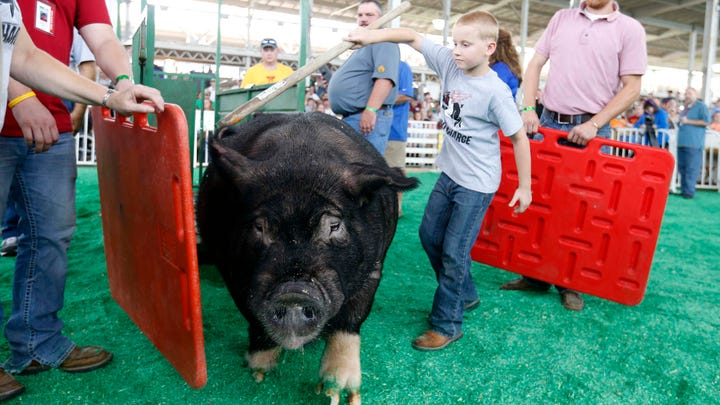 New pig inspection rules announced for Iowa State Fair