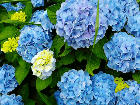 The first step is identifying what type of hydrangeas