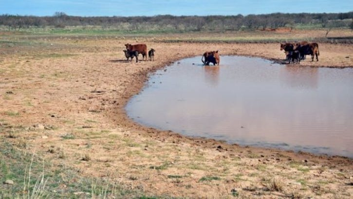 Torin Halsey/Times Record News Cows and calves gather around a shrunken Clay County stock tank. Historic drought conditions are making it difficult for many ranchers to maintain their herds. The drought has caused problems for farmers, wildlife, vegetation and water mains.