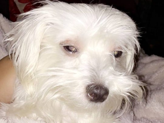 The stolen family dog, a 2-year-old white Maltese named