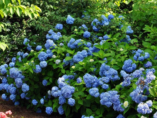 Deadhead those flowers, including classic blue hydrangea.