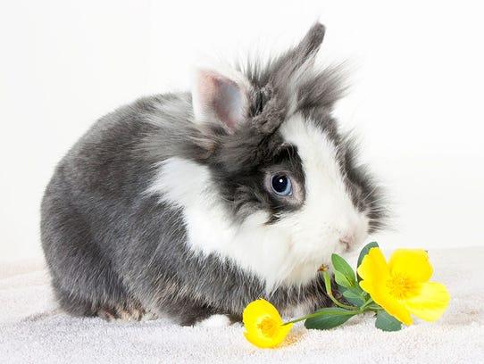Bugs Bunny, male Lionhead rabbit. No. 97250.