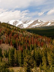 A patch of lodgepole pine trees recently attacked and killed by bark beetles in the Colorado Rocky Mountains are distinguished by their red needles.