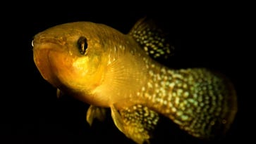 Killifish in Newark Bay and other polluted waters have developed an extraordinary tolerance to toxic chemicals.
