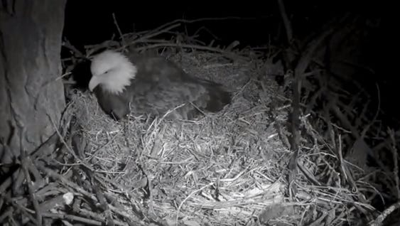 The Decorah eagle nest, seen in this screen grab, is a little more crowded as the eagles welcomed their third egg of the season on Thursday.