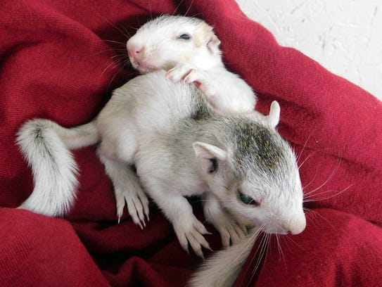 These orphaned white squirrels are being raised with