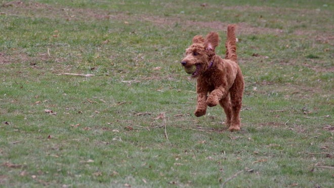 Zuri, a miniature goldendoodle, plays Friday. Dec. 4, 2020 at Van Raalte Park in Holland, Mich. Ottawa County released data on the most popular dog names and breeds locally in 2020. [Sentinel