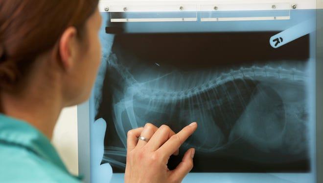 Veterinary surgeon examining X-ray