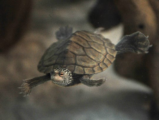 A Texas map turtle is seen on display Thursday during the River Bend Nature Center's Turtle Time exhibit.