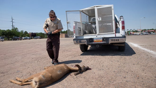 Farmington animal control park ranger Rebecca Maynard inspects the body of a mule deer Thursday at Berg Park in Farmington. Collisions between deer and vehicles typically double from May to June in New Mexico.