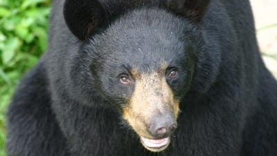 A reader says a black bear has become a menace at Haw Creek Elementary.