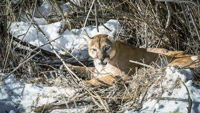 Sightings of mountain lions, such as this one seen recently in Edwards, are on the rise in Eagle County, according to Colorado Parks and Wildlife. However, attacks on humans continue to be rare, and officials are reminding residents not to feed wildlife and to educate themselves about the animals.