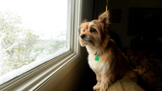 Purple Paw award winner Rocky sits at his favorite spot by the window to watch squirrels in the backyard. Rocky is owned by Jeanne and Aaron Peterson.