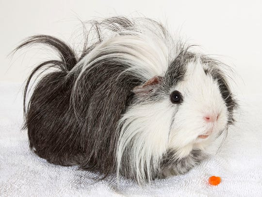 Eric, male Guinea pig. No. 65415.