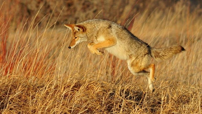 """According to a petition, because coyotes have never been declared a pest or found to be """"injurious to health or the environment,"""" as defined under FIFRA, pesticides (including Compound 1080) cannot legally be used to kill the animals."""