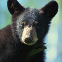 TWRA: 3 bears euthanized in Gatlinburg for chasing people, damaging property