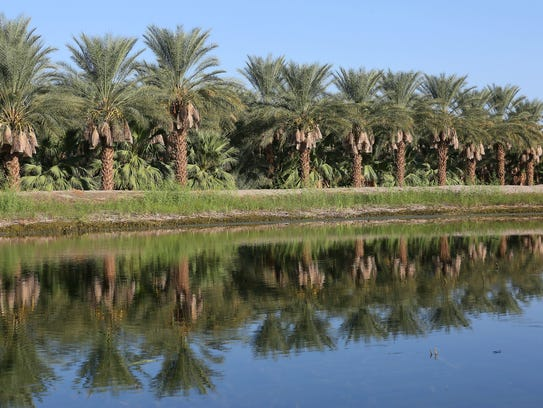 A date grove is reflected in an irrigation pond in