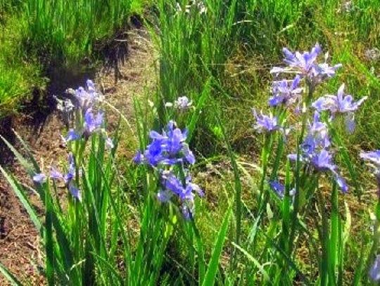 Wild iris grow along the path.
