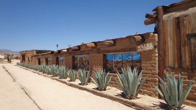 Agave americana is a very drought tolerant plant that rarely shows signs of dehydration.