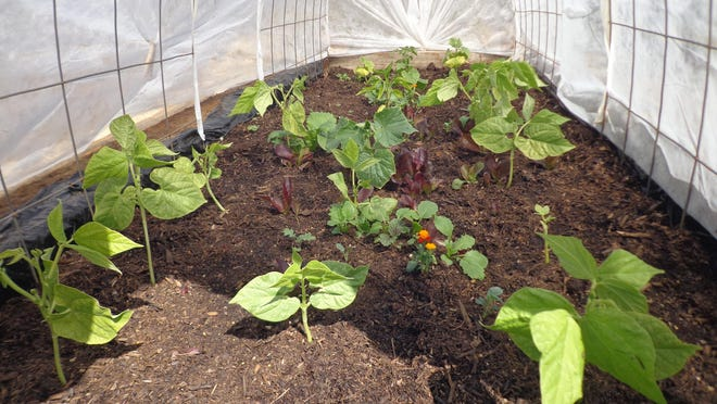 These bush bean seedlings grew well under row covers but the beans have proved quite fibrous despite protection.