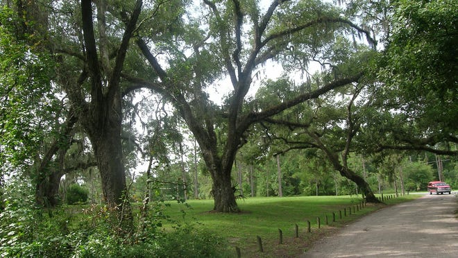 Lake Griffin State Park with view of oaks from the road from campground to picnic area.