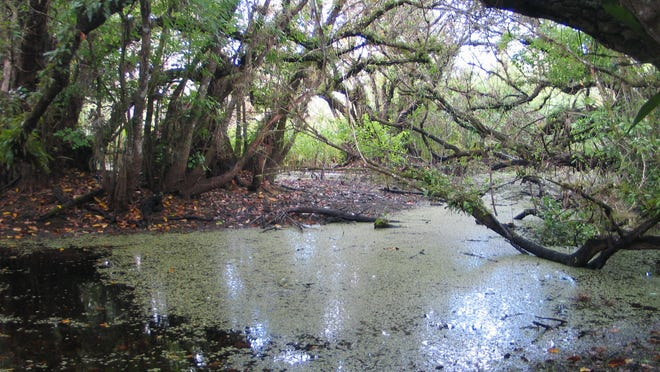 A pond apple slough in Picayune Strand State Forest.