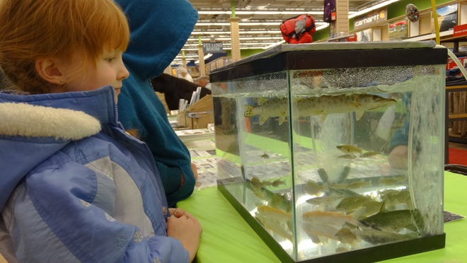"Six-year-old Rockaway resident Skylee Ekstrom admires a muskie on display during the Ramsey Outdoor Store's annual ""Cast and Blast Cabin Fever Day"" on Saturday in Succasunna."