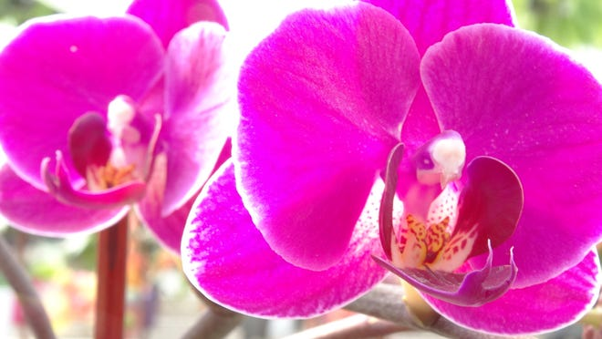 Pink Phalaenopsis was among the many varieties of orchids on display in the greenhouse during Stony Hill Farms' 27th Annual Orchid Open House in Chester last weekend.