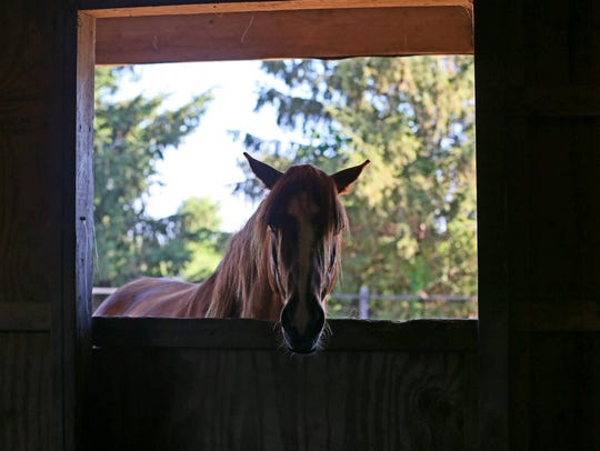 A horse peers into the horse barn. Horses that have