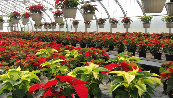 Poinsettias in a greenhouse at Parkside High School. Students in Jerry Kelley's horticulture class in the Career and Technology Education program grown and sell the flowers annually during the Christmas season.