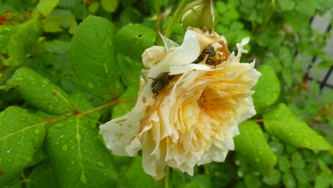 Japanese beetles damage roses at Minnetrista.