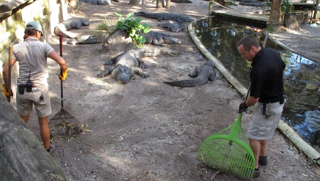 Jim Darlington and Amie Mercado rake up debris in an alligator pit with the enormous reptiles just a couple of feet away, at the St. Augustine Alligator Farm, in St. Augustine, Fla., Sunday, Oct. 9, 2016.  All in all, the zoo, one of Florida's oldest tourist attractions and the only place in the world that displays every species of crocodilian, fared well during the storm. (AP Photo/Brendan Farrington)