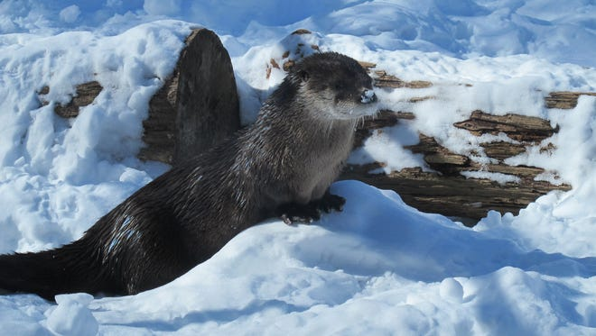 River otters have a layer of fat to keep them warm in winter.
