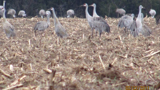 These Sandhill Cranes landed in a cornfield on our family farm in Oldham County, February 2011.