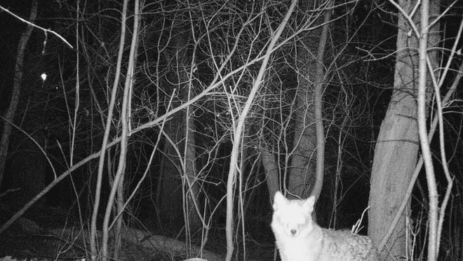Erik Grant set up a camera which caught images of animals including a coyote scavanging the carcass of deer near his home.