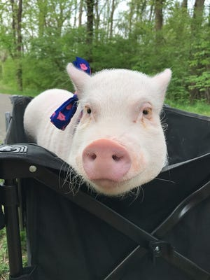 Oliver is a mini pot-bellied pig who is doing therapy work at local libraries and nursing homes in Ottawa County.