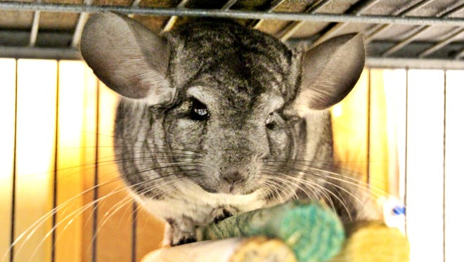 Tiger was one of 300 chinchillas that were seized from a Waukesha home in 2015. She was adopted later that year, but  returned to HAWS earlier this week. Tiger has since been adopted for a second time to a new home.