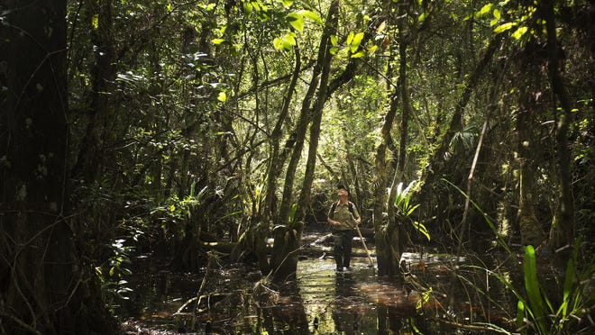 Mike Owen, park biologist for the Fakahatchee Strand in Collier County searches for previously documented ghost orchids last week. He regularly checks on the health of the several hundred documented rare orchids.