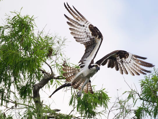 An osprey leaves its nest with part of a fish April